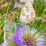 Schmetterling tanzt Tandava